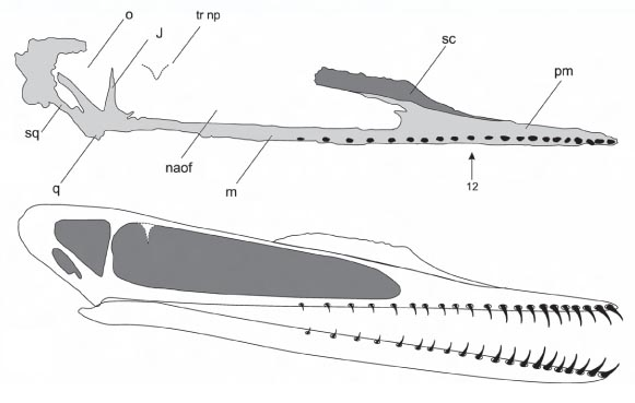 Tracing and reconstruction of Cuspicephalus