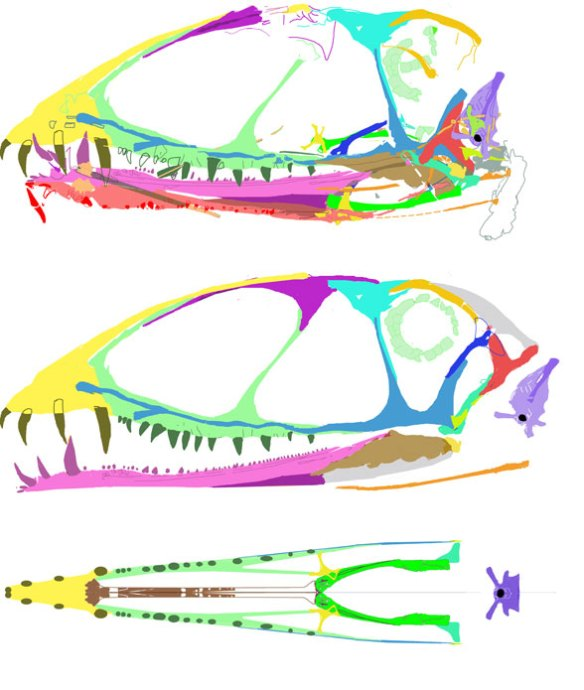 The skull of Dimorphodon macronyx.
