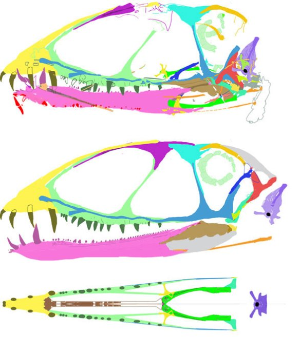 The skull of Dimorphodon macronyx BMNH 41212.