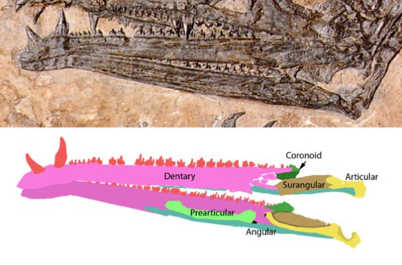 The mandibles of Eudimorphodon with mandible elements identified.
