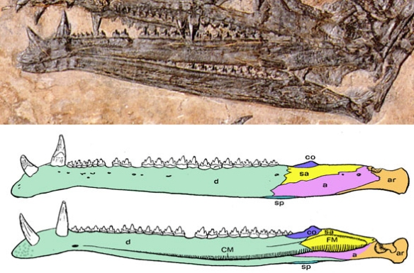 Figure 4. The mandibles of Eudimorphodon with mandible elements identified. Note the breakage of the left dentary and displacement of the left surangular to produce the illusion of a mandibular fenestra not duplicated in the right mandible. A rod-shaped element, likely a hyoid or pterygoid, produces the illusion of a dorsal rim to the right posterior mandible.