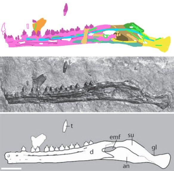 The mandible of Eudimorphodon 1994 I51