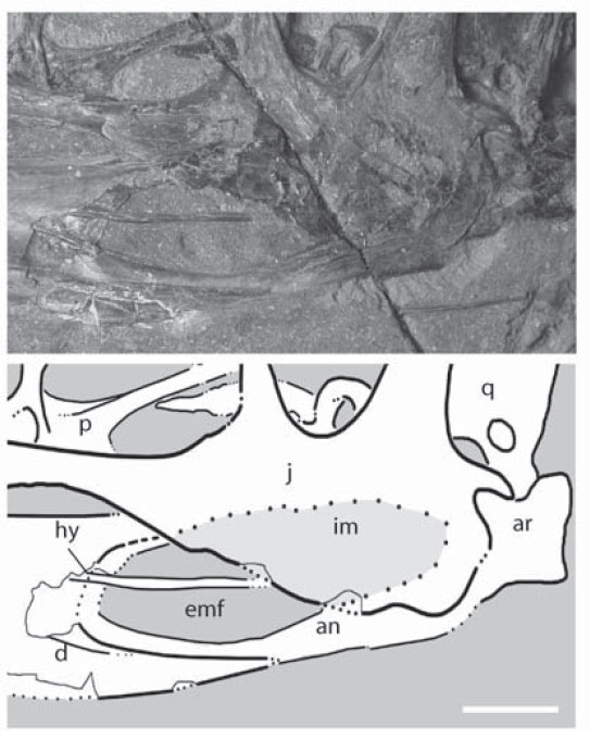 The purported deep jugal and mandibular fenestra in the BMNH specimen of Dimorphodon.