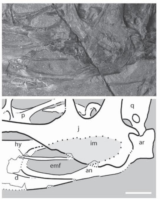 The purported deep jugal and mandibular fenestra in the BMNH specimen of Dimorphodon.