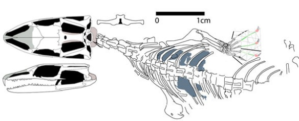 Figure 1. Megachirella, a flat-headed rhynchocephalian close to Marmoretta and basal to pleurosaurs.