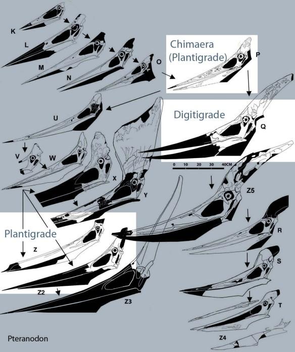 Pteranodon skulls in phylogenetic order.