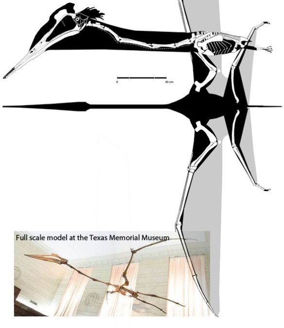 Quetzalcoatlus in dorsal view, flight configuration.