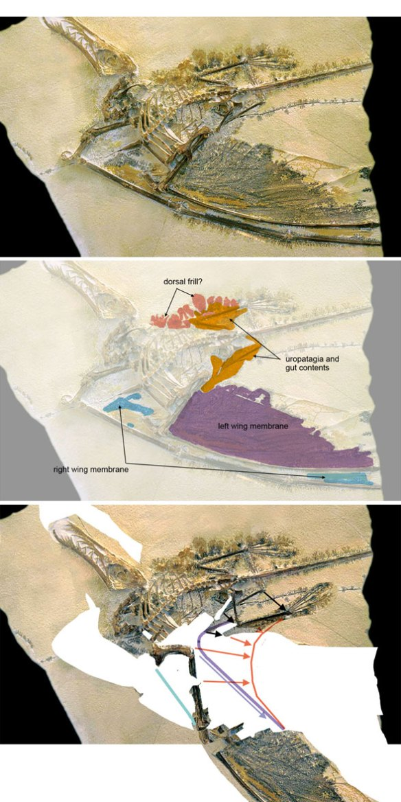 Figure 1. The darkwing specimen of Rhamphorhynchus. Top: in situ. Middle: Soft tissues highlighted. Bottom: Neck and forelimb restored.