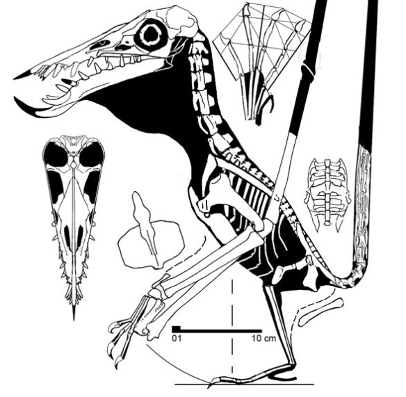 Rhamphorhynchus longiceps