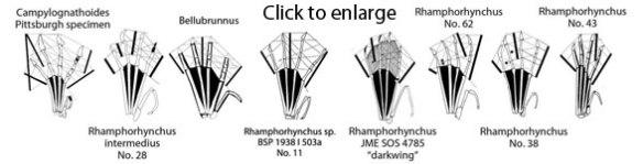 Figure 4. Click to enlarge. Rhamphorhynchus pedes.Figure 4. Click to enlarge. Rhamphorhynchus pedes.