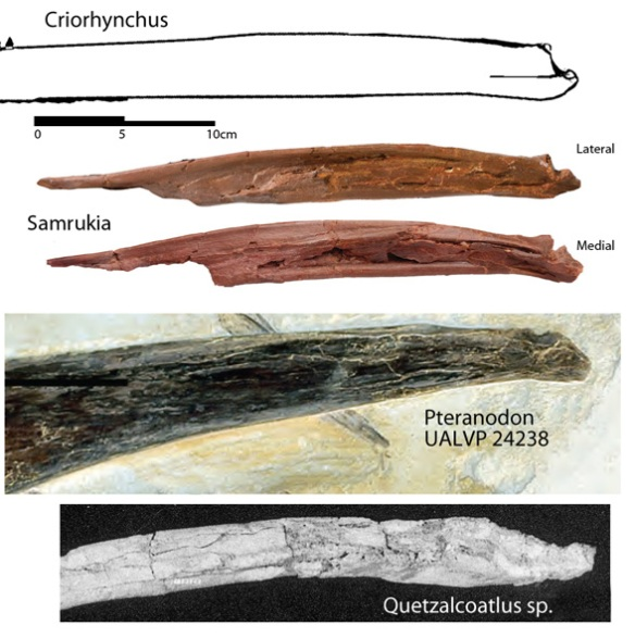 Various pterosaur mandibles compared to Samrukia.