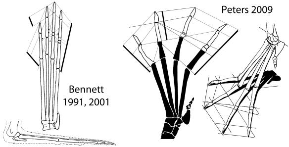 A Pteranodon pes, UNSM 2062