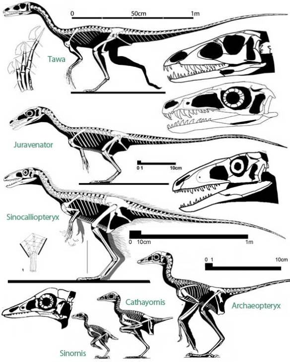 Taxa in the lineage of birds.