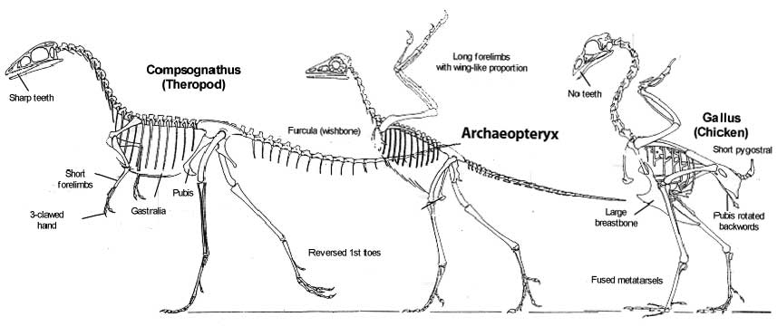 the origin of archaeopteryx  u2013 illustrated