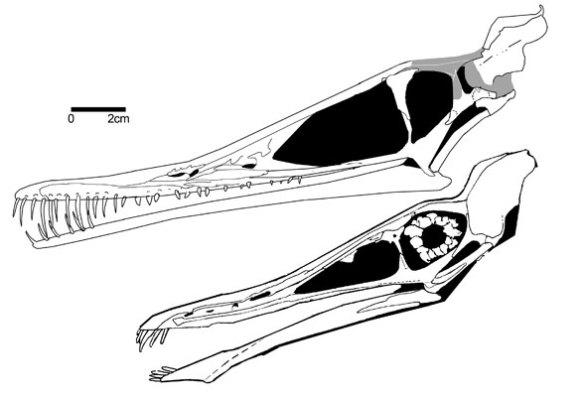 Pterofiltrus and Cycnorhamphus. Both to scale.