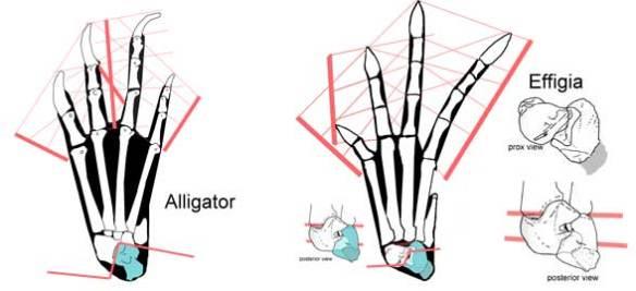 The pedes of Alligator and Effigia