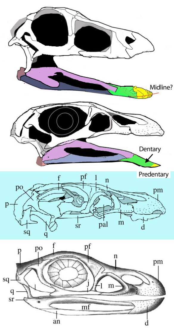 Figure 2. Comparing the DGS method of skull reconstruction to traditional methods. Above: The skull of Shuvosaurus, a sister taxon. Next: Effigia traced from a photo published in Norell and Nesbitt 2006. Note the surangular extends over the mandibular fenestra, as in other dinosaurs and a predentary is present as in other poposaurids. Next: Original tracing of Effigia skull. Bottom: Original restoration of Effigia skull from Norell and Nesbitt (2004). Note the anterior extent of the surangular.