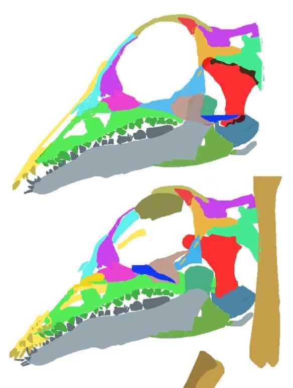The skull of Langobardisaurus tonneloi.