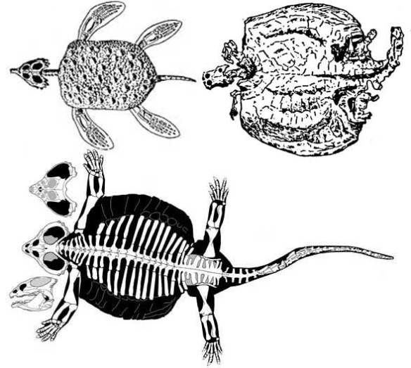 Members of the Placochelyidae
