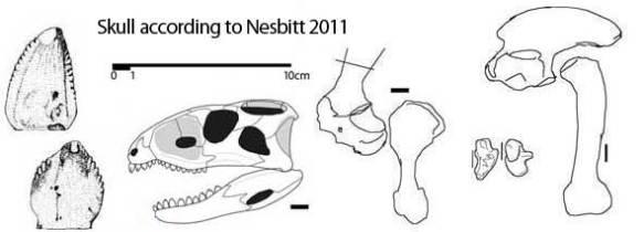Skull reconstruction of Revueltosaurus traced from Nesbitt 2011.