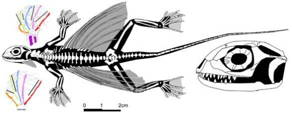 Figure 1. Xianglong, a basal lepidosauriform with dermal extensions, not ribs, with which it used to glide.