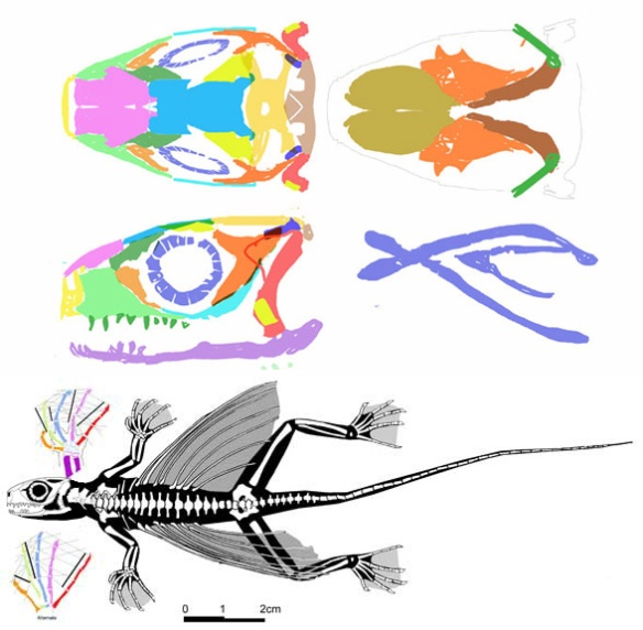 Figure 1. Xianglong zhaoi, a late-surviving sister to Kuehneosaurus and Icarosaurus. What appear to be ribs framing the gliding membrane are in fact dermal ossifications as in Coelurosauravus.