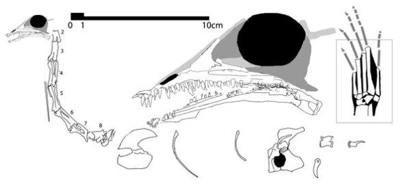 Amotosaurus