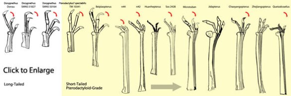 Dorygnathus to azhdarchid hands.