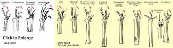 Dorygnathus to Ctenochasmatid hands