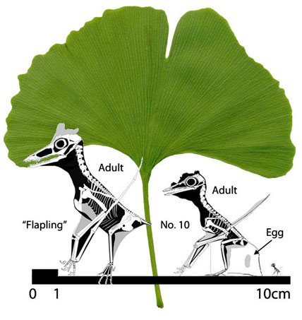 Full scale image of ginkgo leaf and the two smallest pterosaurs