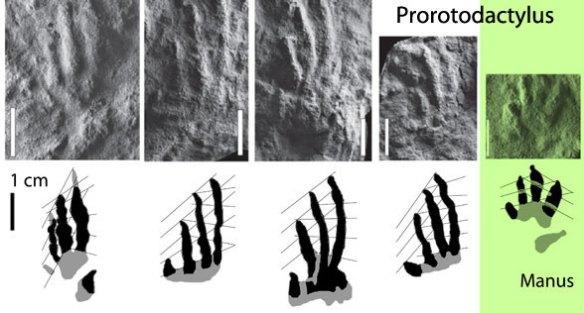 Porotodactylus pes