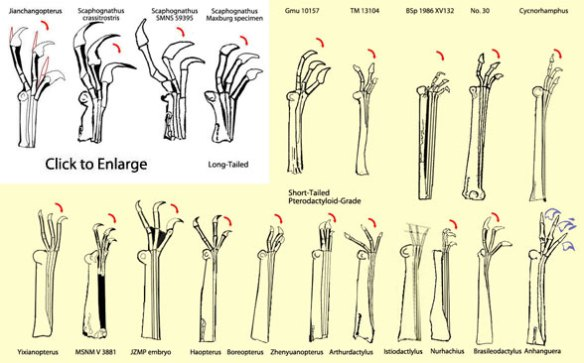 Pterosaur fingers