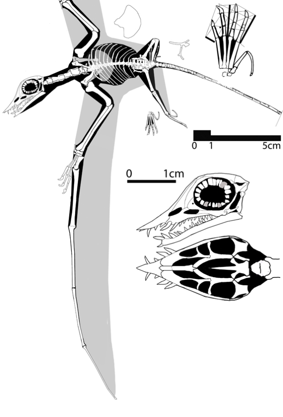 Figure 1. Qinglongopterus? guoi. A new Rhamphorhynchus species. Tracing of photo of specimen modified with wings and leg out, skull reconstructed, sternum flipped.