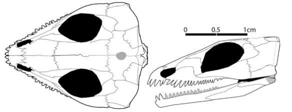 Saurorictus australis