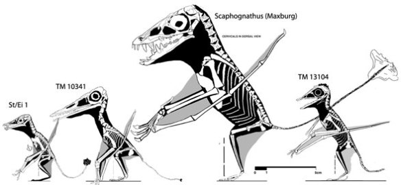 tail reduction in pterosaurs