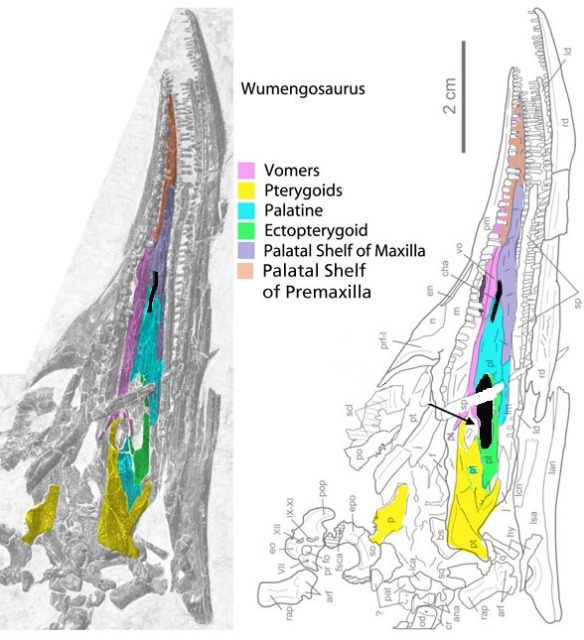 Figure 1. The palate of Wumengosaurus with the ectopterygoid and palatine re-identified based on homologies with sister taxa, as determined by non-palate characters.