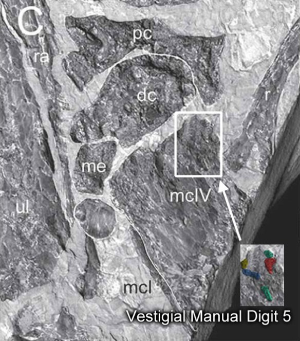 manual digit 5 in a pterosaur, Istiodactylus