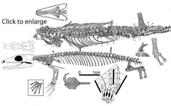 A new skull for specimen 1 attributed to Gephyrostegus.