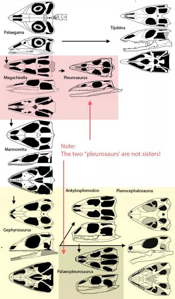 Figure 2. Pleurosaurus and Palaeopleurosaurus skulls compared to those of sister taxa.