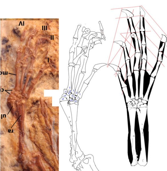 Manus of Tijubina identifying carpal elements.