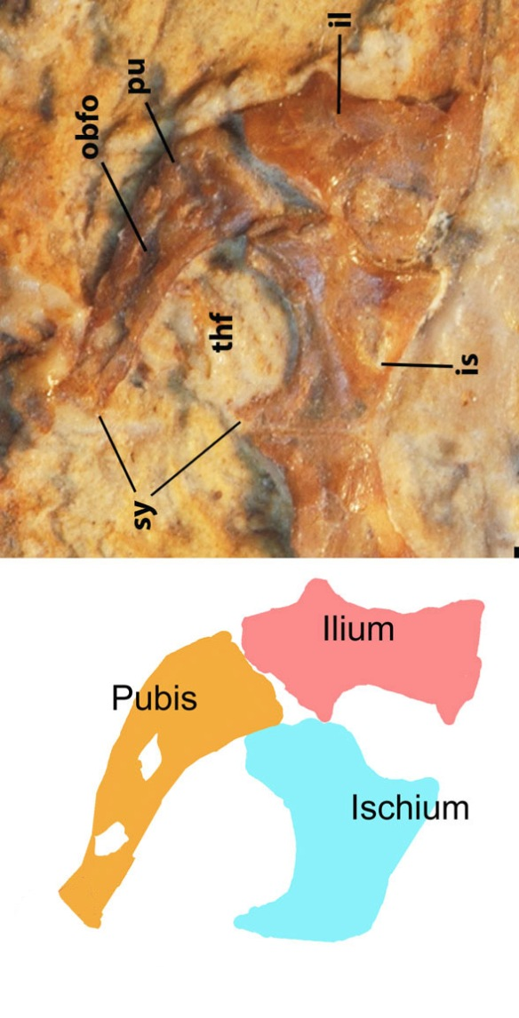 Figure 3. The pelvis and possible prepubis and Tijubina. Is this the origin of the prepubis? Or just a splinter or two of bone in the position of the prepubis. I can't tell for sure. Phylogenetically Tijubina was scored without a prepubis and pteroid.