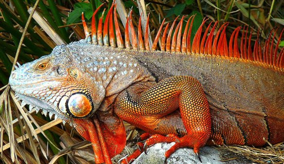 The spines of Iguana.