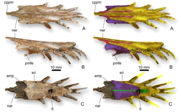 Reinterpretation of purported premaxilla in Dorygnathus