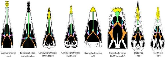 Evolution of the pterosaur palate from Eudimorphodon to Rhamphorhynchus.