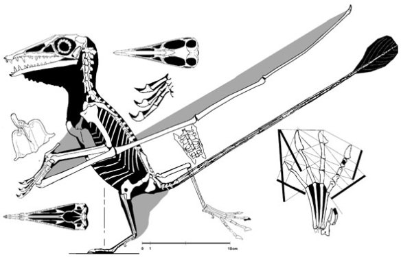 The Pittsburgh specimen of Campylognathoides. This pterosaur had the largest prepubes of all pterosaurs. Note the ventral orientation, aligned with the femora during normal standing.