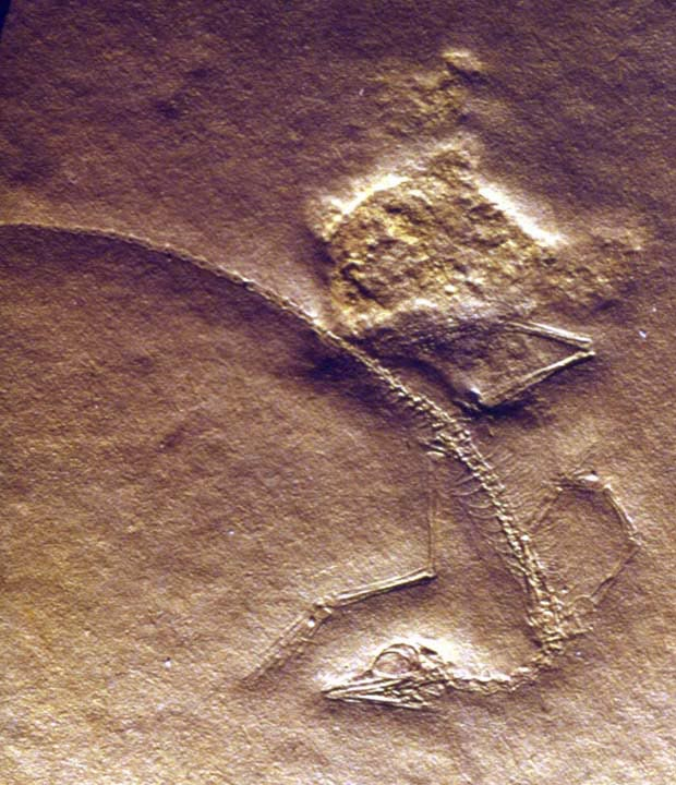 Figure 1. Cosesaurus insitu. No bones are present. This is a natural mold that includes an amorphous blob, a jellyfish, that trapped one foot of this unique specimen.