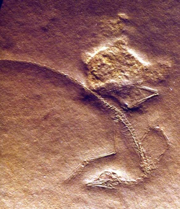 Cosesaurus insitu
