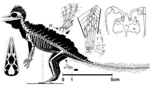 Current interpretation of Cosesaurus.