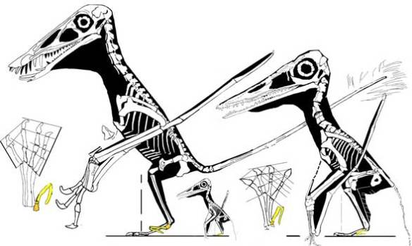 Two sister taxa bridging the basal/derived pterosaur divide.