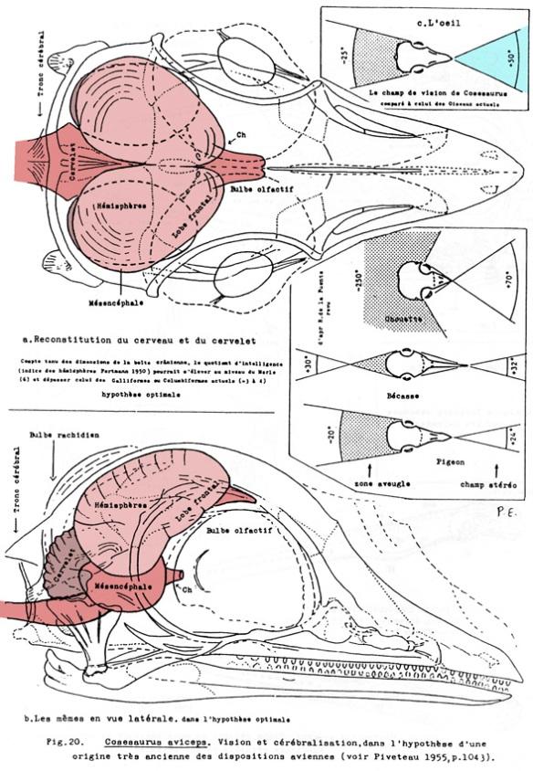 The brain of Cosesaurus